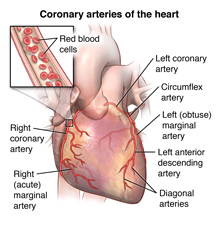 The heart and coronary arteries